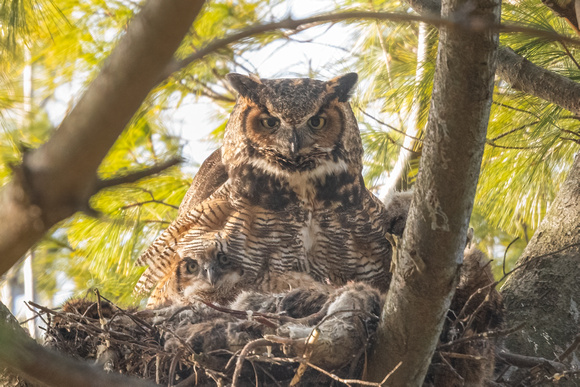 Peering from Her Feathers.  Great Horned Owl and Owlet. Boston, Massachusetts.  2021