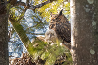 Great Horned Owl and Owlet. Boston, Massachusetts.  2021