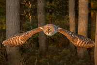 Into the Golden Light, Great Gray Owl, Newport, NH 2017