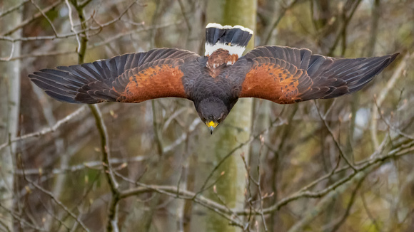 Chasing The Golden Light Photography By Howard S Muscott Birds Of Prey Dive Bombing Harris Hawk Quichee Vt