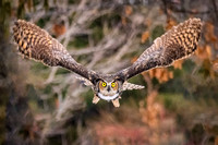 Wingspan and Golden Eyes. Great Horned Owl, Kingston, New Hampshire, 2020