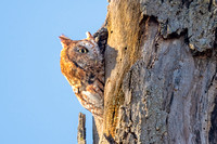 High Alert. Screech Owl, Waltham, Massachusetts