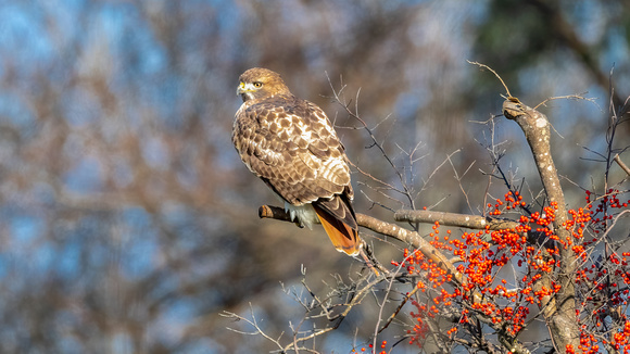 Red Tail Hawk and Winter Berries. Salisbury, MA