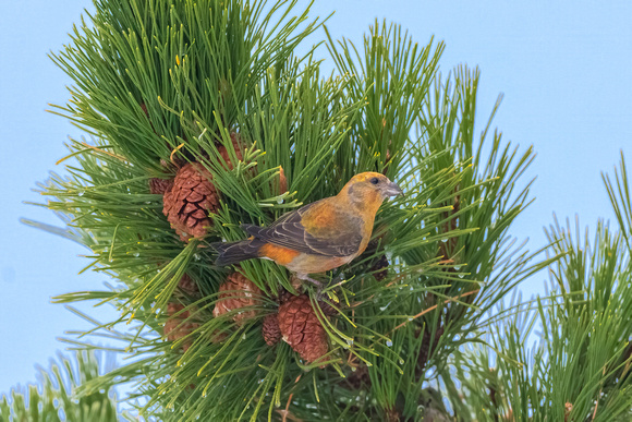 Male Crossbill with Pine Cones.  Coastal New England, December 2020.