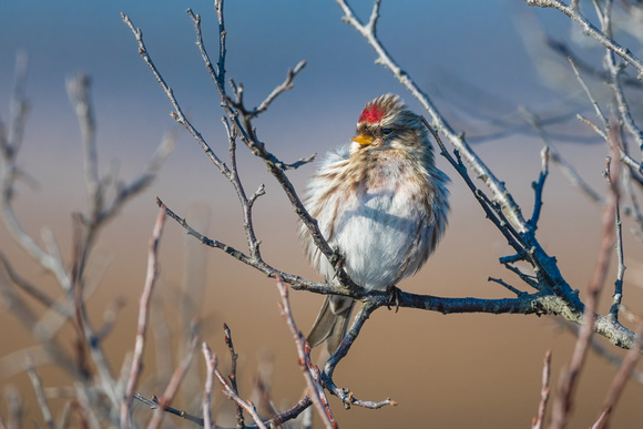 Redpoll Confidence. Coastal New England. 2021.