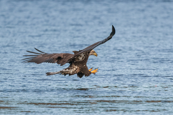Coming in Hot. Juvenile Bald Eagle. Merrimack River. 2021