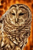 Barred Owl Hollis,NH