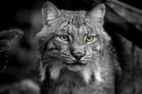 Portrait of an Alaskan Lynx, Alaska Wildlife Conservation Center, Portage, Alaska