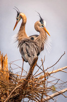 Love Nest Great Blue Herons, Milford, NH