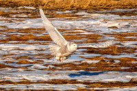 Ryeann Searching for Food Across the Marsh, Snowy Owl, Rye, NH