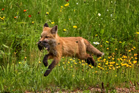 I've Got Mine!  Red Fox Kit with Voles, New London, NH