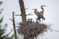 Family Love, Great Blue Herons and Chicks, Heron Pond, Milford, NH