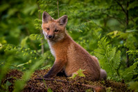 Picture Perfect!  Red Fox Kit, New London, NH