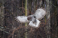 Haunting Hunter, Great Gray Owl, Robert Moses State Park, Messina, NY 2017