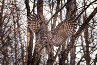 Ready to Fly, Great Gray Owl, NH 2017