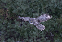 Hovering, , Great Gray Owl, NH 2017