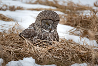 Listening Before the Strike, Great Gray Owl Wintering in NH 2017