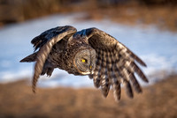 Chasing the Golden Light.  The Great Gray Owl goes for a sunset flight. New Hamphire