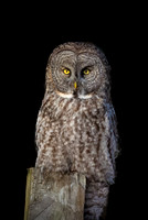 Night Before Nor'Easter, Great Gray Owl Wintering in NH 2017