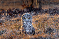 Connected, Great Gray Owl Wintering in NH 2017