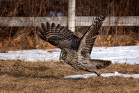 Take Off, Great Gray Owl Wintering in NH 2017