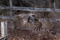 Off the Post, Great Gray Owl Wintering in NH 2017