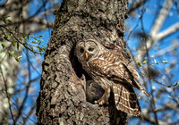 Feeding Time, Barred Owl and Owlet, Monson Settlement, Milford, NH