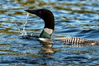 Adult Loon from Mating Pair, Central NH, 2017