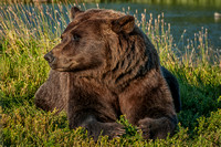 Brown Bear, Alaska Wildlife Conservation Center, Portage, Alaska