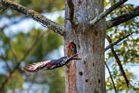 Come Back Mom.  Pileated Woodpecker Female and Chick 2018