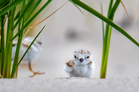 Piping Plover Chick Face to Face 2018
