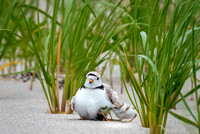 Piping Plover Mom and Chick 2018