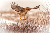 Soft Landing, Red Tailed Hawk, Plum Island, MA