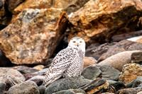 Ryeann On the Rocks, Snowy Owl, Rye Beach