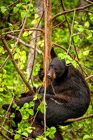 Black Bear Cub in Tree, Fortress of the Bear, Sitka, AK