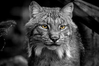 Portrait of an Alaskan Lynx, Alaska Wildlife Conservation Center, Portage, Alaska