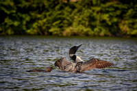 Watch This.  Loon and Chick, Kezar Lake, Sutton, NH