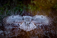 Great Gray Owl Hovering, Newport, NH 2017