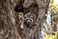 Raccoon in Heart Tree, Nashua, NH