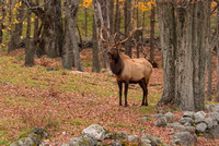 Bull Elk in NH Forest, Fall 2017