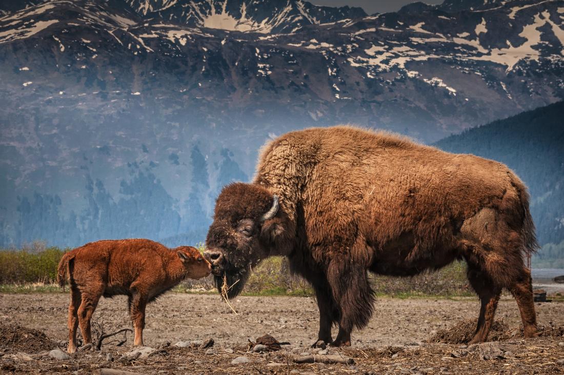 Newborn Calf and Mother Kissing, Alaska Wildlife Conservation Center, Portage, Alaska