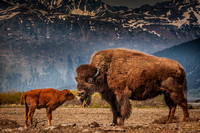 Take That, Wood Bison and Newborn Calf, Alaska Wildlife Conservation Center, Girdwood, AK