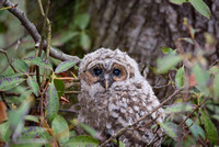 Barred Owlet Lefty, Safely in the Woods, Milford, NH